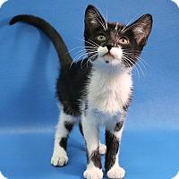 Domestic Shorthair Kitten for adoption in Overland Park, Kansas - Brenda