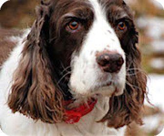 English Springer Spaniel Dog for adoption in Minneapolis, Minnesota - Mandy