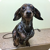 Adopt A Pet :: Gidget - Garden City, MI