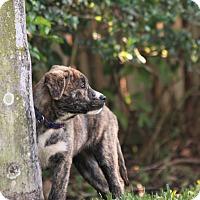 Adopt A Pet :: Jesse - Pinellas Park, FL