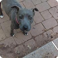 Adopt A Pet :: Jenna -Sweet Lab Pittie Girl - Millbrook, NY