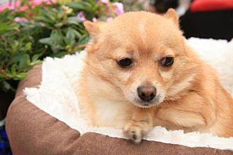 Pomeranian/Chihuahua Mix Dog for adoption in Elizabethtown, Pennsylvania - Avery
