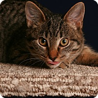 Domestic Shorthair Kitten for adoption in Toms River, New Jersey - Violet