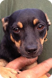 Miniature Pinscher/Dachshund Mix Dog for adoption in Gainesville, Florida - Pickle