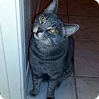Adopt A Pet :: Tommy - Gilbert, AZ