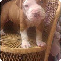 Adopt A Pet :: Staffordshire pup 3 - Alliance, NE