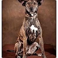 Adopt A Pet :: Bullet - Owensboro, KY