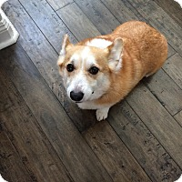 Adopt A Pet :: Hudson - Lomita, CA
