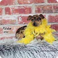 Adopt A Pet :: CRICKET - Conroe, TX