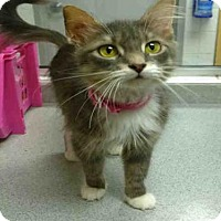 Adopt A Pet :: SNEAKERS - Canfield, OH