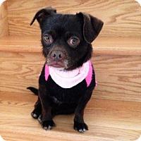 Adopt A Pet :: Coco - Schaumburg, IL