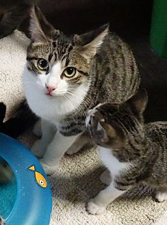 Domestic Shorthair Kitten for adoption in Round Rock, Texas - Sabrina