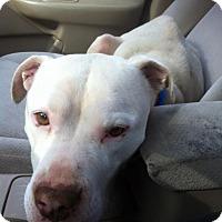 Adopt A Pet :: Faith - Boston, MA