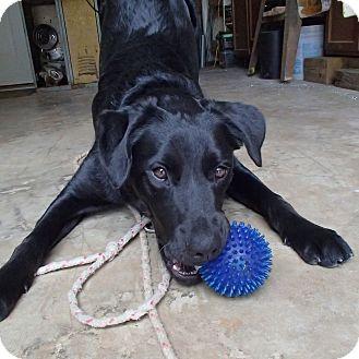 Labrador Retriever Mix Dog for adoption in Ponchatoula, Louisiana - Shane