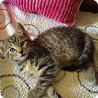 Adopt A Pet :: Hibiscus - Tampa, FL
