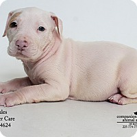Adopt A Pet :: Jules (Foster) - Baton Rouge, LA