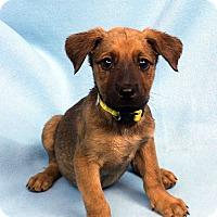 Adopt A Pet :: DANIKA - Westminster, CO