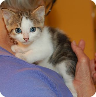 Domestic Shorthair Kitten for adoption in Great Mills, Maryland - Jerry