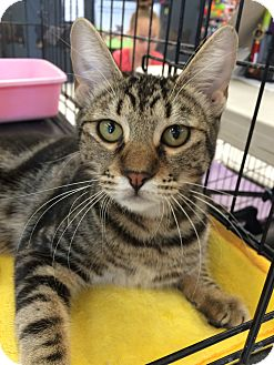 Domestic Shorthair Cat for adoption in Riverside, California - Cinnamon