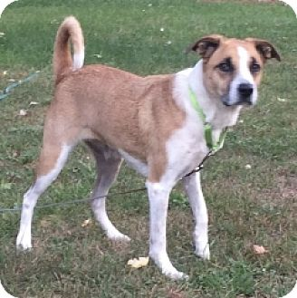 Shepherd (Unknown Type)/Hound (Unknown Type) Mix Dog for adoption in Albany, New York - HANNAH BELLE