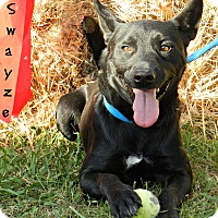 German Shepherd Dog/Australian Cattle Dog Mix Dog for adoption in Lawrenceburg, Tennessee - Swayze