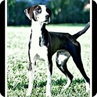 Pointer Mix Dog for adoption in Indian Trail, North Carolina - Winston