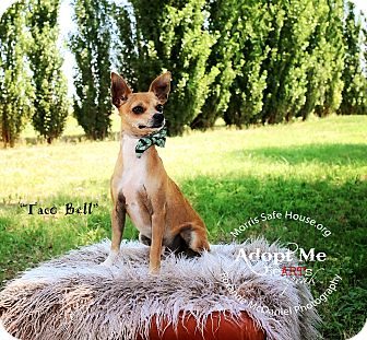 Chihuahua Mix Dog for adoption in Lubbock, Texas - taco bell