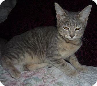 Russian Blue Kitten for adoption in Dallas, Texas - Rainy