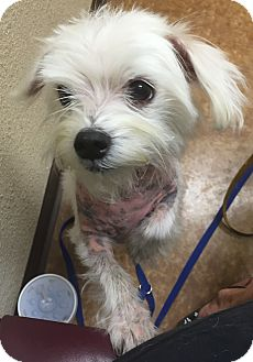 Maltese Mix Dog for adoption in Flower Mound, Texas - Snoop Dog