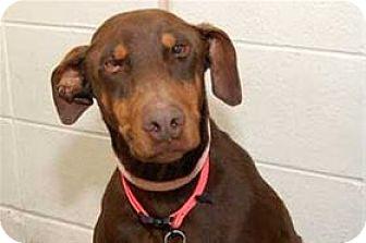 Doberman Pinscher Mix Dog for adoption in Mountain Home, Arkansas - Duke