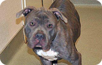 Pit Bull Terrier Mix Dog for adoption in Wildomar, California - Skinner