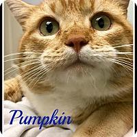 Adopt A Pet :: Pumpkin - Gonic, NH