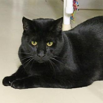 Domestic Shorthair Cat for adoption in Morgan Hill, California - Valentine