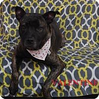 Adopt A Pet :: Valentine - Bucyrus, OH