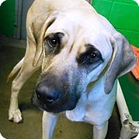 Adopt A Pet :: Angie - Redding, CA