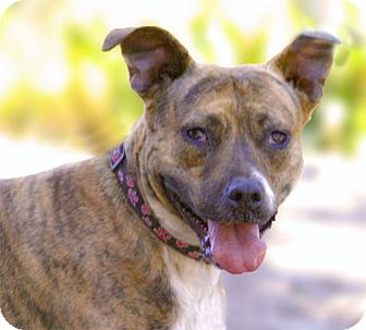 Terrier (Unknown Type, Medium)/Australian Cattle Dog Mix Dog for adoption in Sacramento, California - Sasha - all wiggles!
