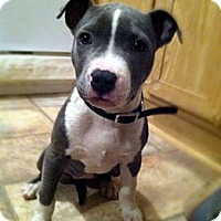 Adopt A Pet :: Lucy Blue - Chattanooga, TN