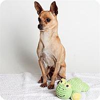 Adopt A Pet :: Winston - Oakland, CA