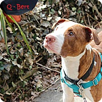 Adopt A Pet :: Q-Bert - Chicago, IL