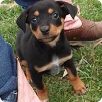 Adopt A Pet :: Jossie ( cheagle) - mooresville, IN