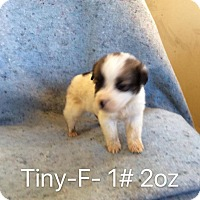 Adopt A Pet :: Tiny - Buffalo, NY