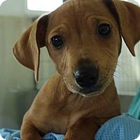 Adopt A Pet :: BamBam - Grants Pass, OR