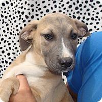 Adopt A Pet :: Velvet - Oviedo, FL