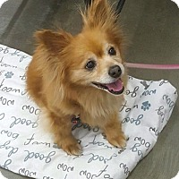 Pomeranian/Chihuahua Mix Dog for adoption in Tucson, Arizona - Fancy