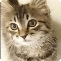 Adopt A Pet :: Brown Tabby - Red Bluff, CA