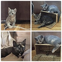 Adopt A Pet :: Beautiful Kittens - Clay, NY