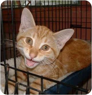 Domestic Shorthair Kitten for adoption in Honesdale, Pennsylvania - Spaz