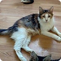 Domestic Mediumhair Cat for adoption in Plantsville, Connecticut - Katya