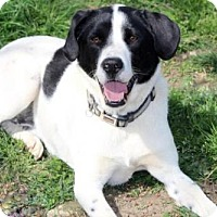 Border Collie Mix Dog for adoption in Franklin, Tennessee - FENWAY