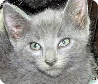 Russian Blue Cat In Maryland